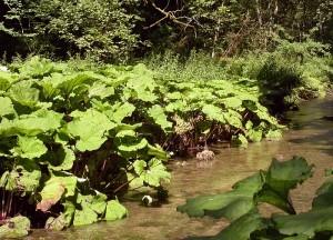 Parasolowate liście lepiężnika w pełni lata.
