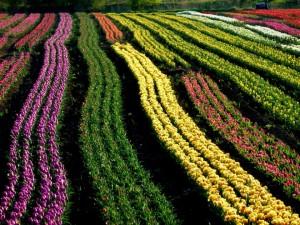 Żuławski pola tulipanów Fot. Anna Jakubowska.